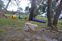 banksia-park-puppies-buddy-17-of-25
