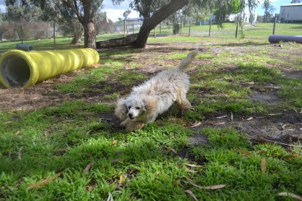 banksia-park-puppies-buddy-23-of-25