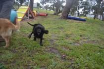 banksia-park-puppies-jodel-26-of-31