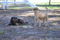 TED-poodle-Banksia Park Puppies - 12 of 19