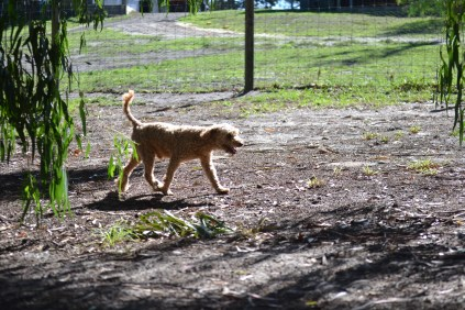 TED-poodle-Banksia Park Puppies - 19 of 19