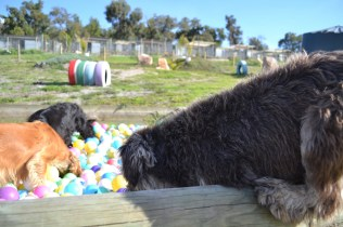ADULT AGILITY PARK- Banksia Park Puppies - 23 of 117