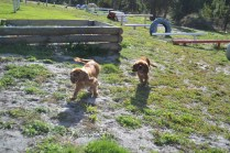 ADULT AGILITY PARK- Banksia Park Puppies - 5 of 117