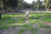 ADULT AGILITY PARK- Banksia Park Puppies - 74 of 117