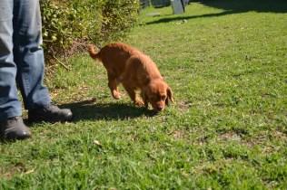 HARLOW- Banksia Park Puppies - 10 of 23