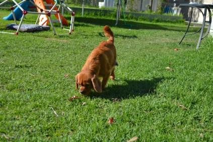 HARLOW- Banksia Park Puppies - 12 of 23