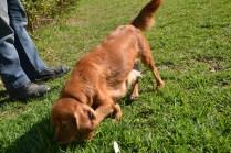 HARLOW- Banksia Park Puppies - 13 of 23