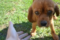 HARLOW- Banksia Park Puppies - 3 of 23