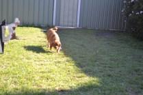 HARLOW- Banksia Park Puppies - 5 of 23