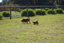 Rozelle and Pups- Banksia Park Puppies - 26 of 142