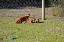 Rozelle and Pups- Banksia Park Puppies - 60 of 142