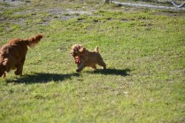 Rozelle and Pups- Banksia Park Puppies - 74 of 142