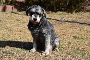 Florrie-Schnauzer-Banksia Park Puppies - 16 of 20