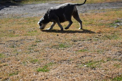 Florrie-Schnauzer-Banksia Park Puppies - 9 of 20