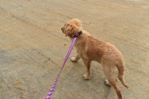 HoneyBear-Groodle-Banksia Park Puppies - 6 of 29