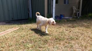 NOODLE- Banksia Park Puppies - 21 of 26