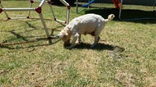 NOODLE- Banksia Park Puppies - 24 of 26