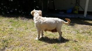 NOODLE- Banksia Park Puppies - 8 of 26