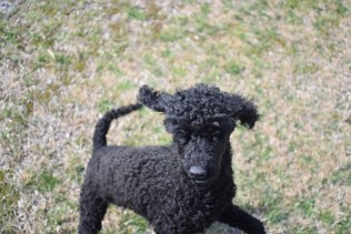 Razzie-Poodle-Banksia Park Puppies - 10 of 34
