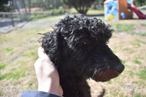 Razzie-Poodle-Banksia Park Puppies - 14 of 34