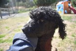 Razzie-Poodle-Banksia Park Puppies - 15 of 34