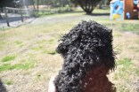 Razzie-Poodle-Banksia Park Puppies - 16 of 34