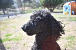 Razzie-Poodle-Banksia Park Puppies - 18 of 34