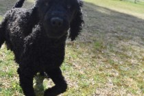 Razzie-Poodle-Banksia Park Puppies - 4 of 34