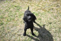 Razzie-Poodle-Banksia Park Puppies - 6 of 34