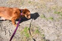 Roza-Cavalier-Banksia Park Puppies - 2 of 47