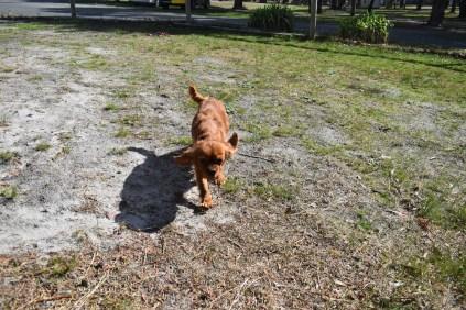 Roza-Cavalier-Banksia Park Puppies - 21 of 47