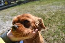 Roza-Cavalier-Banksia Park Puppies - 23 of 47