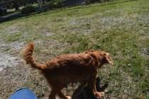 Roza-Cavalier-Banksia Park Puppies - 24 of 47