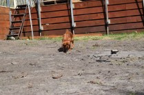 Roza-Cavalier-Banksia Park Puppies - 36 of 47