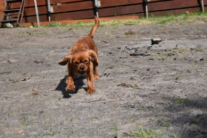 Roza-Cavalier-Banksia Park Puppies - 40 of 47