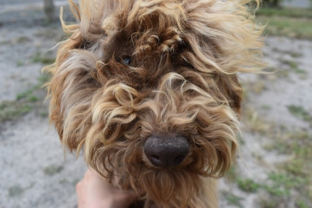 Bling-Poodle-7510-Banksia Park Puppies - 1 of 100
