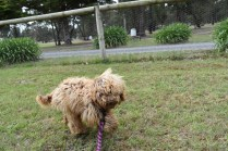Bling-Poodle-7510-Banksia Park Puppies - 17 of 100