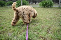 Bling-Poodle-7510-Banksia Park Puppies - 41 of 100