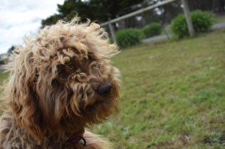 Bling-Poodle-7510-Banksia Park Puppies - 58 of 100