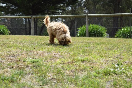 Bling-Poodle-7510-Banksia Park Puppies - 74 of 100