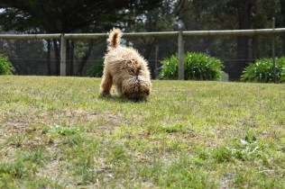 Bling-Poodle-7510-Banksia Park Puppies - 75 of 100