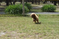 Bling-Poodle-7510-Banksia Park Puppies - 94 of 100