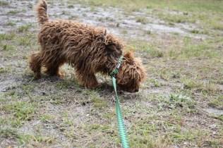 Bobbles-Poodle-6419-Banksia Park Puppies - 12 of 76