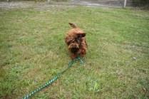 Bobbles-Poodle-6419-Banksia Park Puppies - 39 of 76