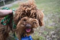 Bobbles-Poodle-6419-Banksia Park Puppies - 52 of 76