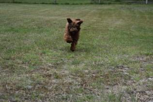 Bobbles-Poodle-6419-Banksia Park Puppies - 59 of 76