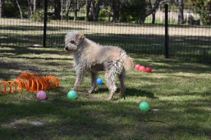 Snedley-Schnoodle-Banksia Park Puppies - 1 of 62