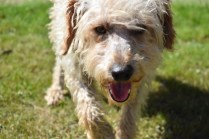 Snedley-Schnoodle-Banksia Park Puppies - 17 of 62