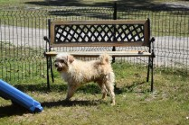 Snedley-Schnoodle-Banksia Park Puppies - 18 of 62