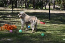 Snedley-Schnoodle-Banksia Park Puppies - 2 of 62